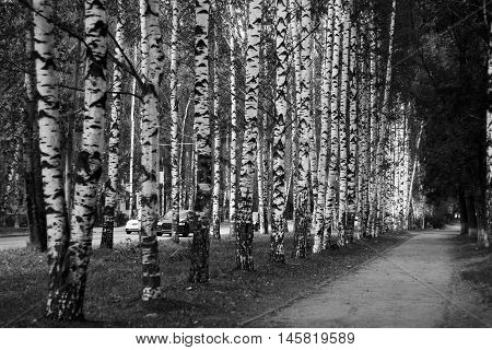 Birch alley russian nature in the park