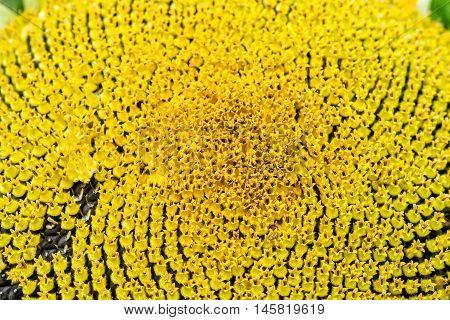 Sunflower Macro In Summer