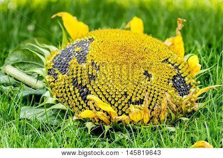 Sunflower Picked In Summer