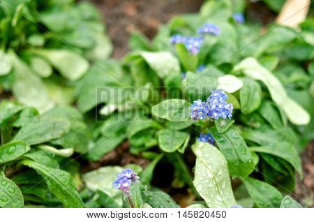 Small violet pansy flowers closeup in spring