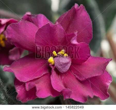 Beautiful claret violet flower over leaves background