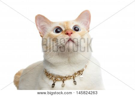 Close-up Beautiful Breed Mekong Bobtail Cat Blue eyed, Lying with Chain, Looking up Isolated White Background, Color-point Fur