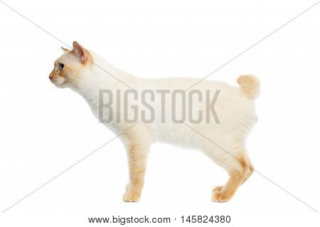 Funny Breed Mekong Bobtail Cat Blue eyed, Standing and Looking Forward, Isolated White Background, Color-point Fur, without tail