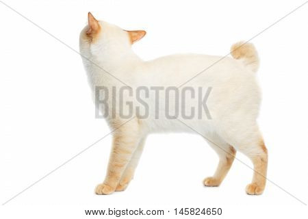 Funny Breed Mekong Bobtail Cat Blue eyed, Standing and Looking up, Isolated White Background, Color-point Fur, without tail