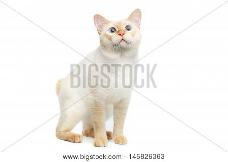 Beautiful Breed Mekong Bobtail Cat with Blue eyes Sitting and Curious Looking, without tail on Isolated White Background, Color-point Fur