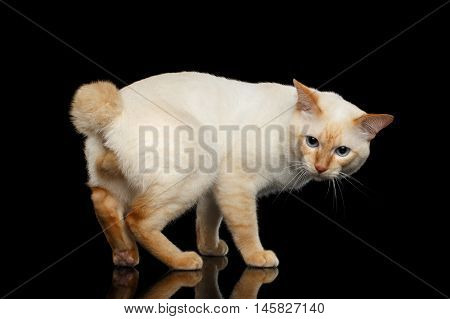 Curious Breed Mekong Bobtail Cat Blue eyed, Standing and sit down, Isolated Black Background, Color-point Fur, without tail, Back view