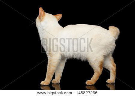 Adorable Breed Mekong Bobtail Cat, Standing and Looking up, Isolated Black Background, Color-point Fur, Back view on Head