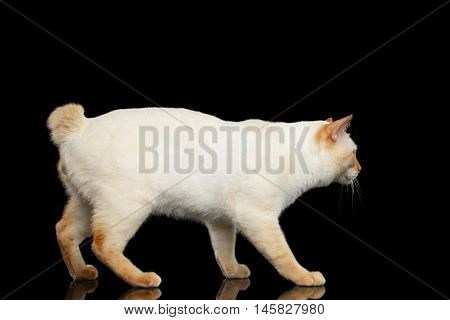 Curious Breed Mekong Bobtail Cat Blue eyed, Walking, Isolated Black Background, Color-point Fur, without tail, Side view