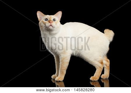 Curious Breed Mekong Bobtail Cat Blue eyed, Standing and Looking up, Isolated Black Background, Color-point Fur, without tail
