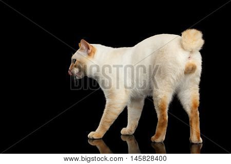 Curious Breed Mekong Bobtail Cat Blue eyed, Walking and Licked, Isolated Black Background, Color-point Fur, without tail, Back view