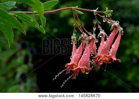 Pink Rhododendron flower in bloom with droplets after the rain