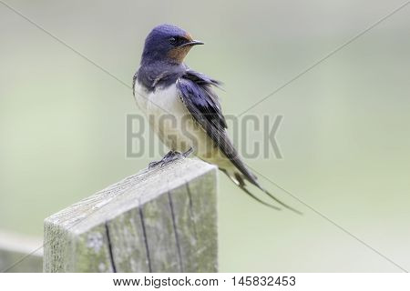 Swallow - Hirundo rustica - resting on a fence post. Plain pastel green background allows for copy space.