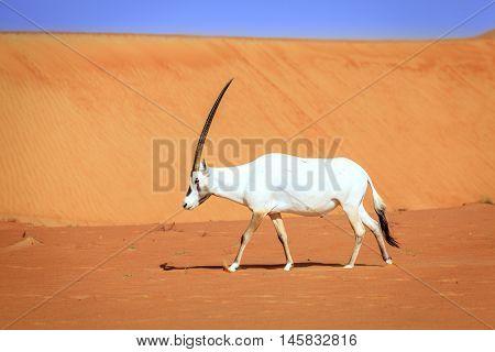 Oryx or Arabian antelope in the Desert Conservation Reserve near Dubai, UAE