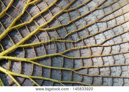 Victoria Water Lily Leave Bottom