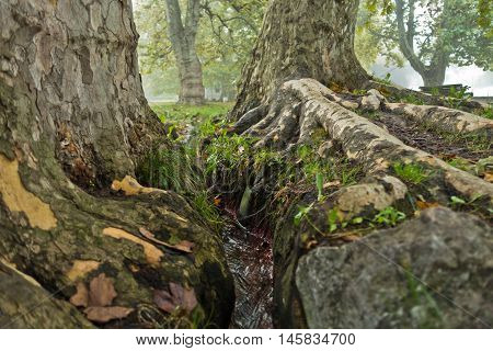 Small water stream between roots of big old trees