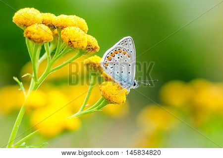 Plebejus Idas, Idas Blue Or Northern Blue, Is A Butterfly In The Family Lycaenidae. Beautiful Butter