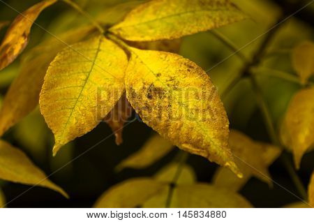 Yellow leaves on a trees at autumn in Topcider park, Belgrade, Serbia