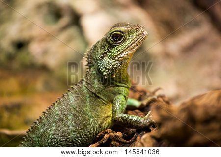 Iguana in a terrarium a medium-sized green lizard