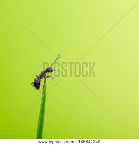 ant on a blade of grass on a green background close-up close-up black ant