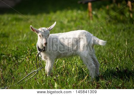 young goat in the grass green grass the little goat the village