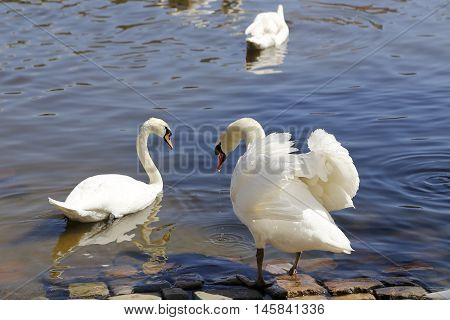 Beautiful pair white swans on the river