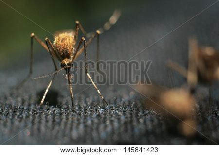 close-up of mosquitoes mosquitoes eat drink blood