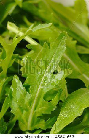 detail of arugula leaves - full frame