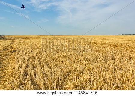 Stubble field after wheat harvesting on the background of blue sky with clouds close up