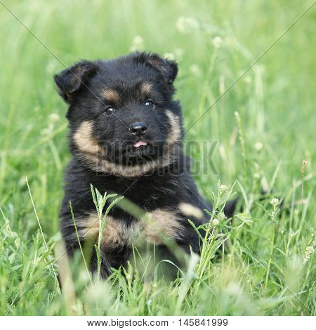 Beautiful Puppy Of Bohemian Shepherd