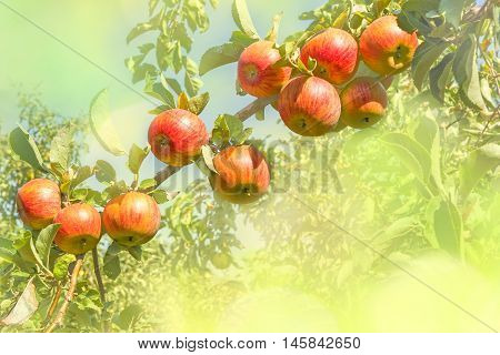 Ripe orange apples on a branch against the backdrop of an orchard on a sunny autumn day close up. Photo toned