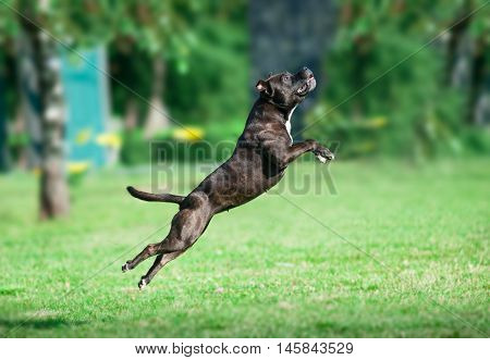 An american staffordshire pitbull terrier jump up