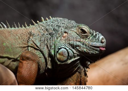 Green iguana (Iguana iguana). Wildlife animal.