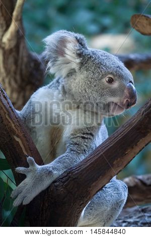 Queensland koala (Phascolarctos cinereus adustus). Wild life animal.