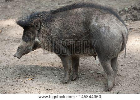 Visayan warty pig (Sus cebifrons). Wildlife animal.