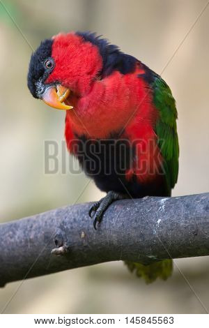 Black-capped lory (Lorius lory erythrothorax), also known as the tricolored lory. Wildlife animal.
