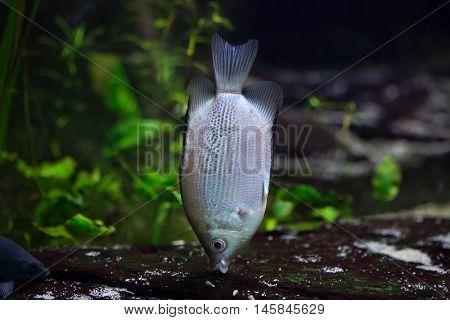 Kissing gourami (Helostoma temminckii), also known as the kissing fish. Wildlife animal.