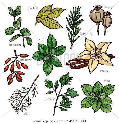 Sketch Herbs And Spice Color Collection In Hand Drawn Style