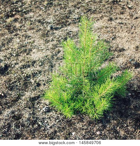 Small Pine Tree. Evergreen Plant Sapling.
