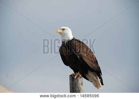 Bald Eagle Overlooking The City
