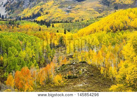 Autumn Aspens in Colorado near Pike's Peak