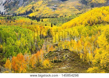 Autumn Aspens in Colorado near Pike's Peak