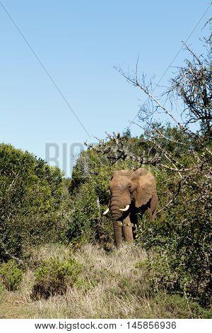 I Am The Boss - African Bush Elephant