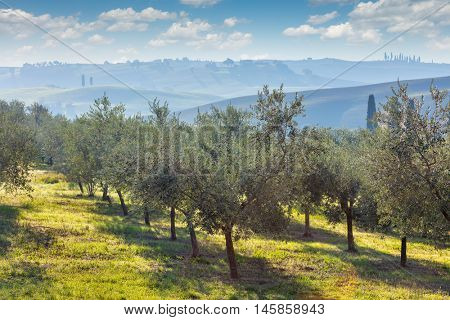 Beautiful morning landscape of Olive trees plantation in harvest.  Mediterranean olive field with old olive tree. Vegetable produce industry.  Autumn seasonal nature.