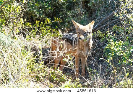 The jackal is a small omnivorous mammal of the genus Canis which also includes the wolf and dog. While the word