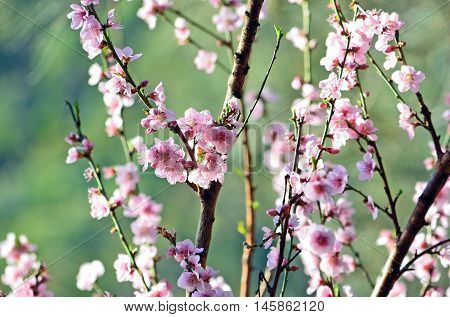 Cherry blossoms in soft afternoon light. Teal green background
