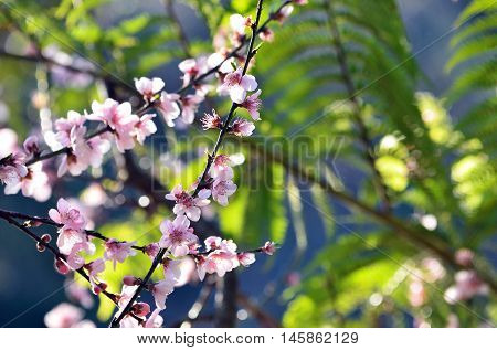 Cherry blossoms in soft afternoon light with green ferns in background