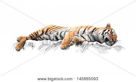 Sleeping tiger, isolated on white background, predator