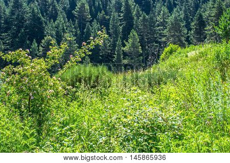 Abundant fresh green meadow full of flowers and plants in the forest, Pyrenees region, Girona, Alp, Catalonia, Spain