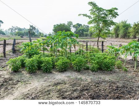 Homegrown vegetable garden with the papaya tree in the paddy field countryside of Thailand.