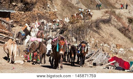 caravan of mules with goods - Western Nepal